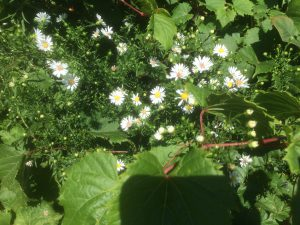 frost aster or fleabane