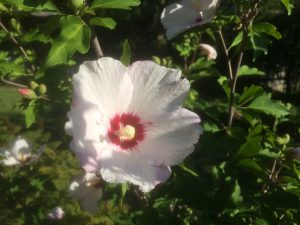 the hummingbirds' fave hibiscus