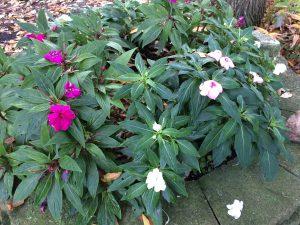 Autumn Begonias